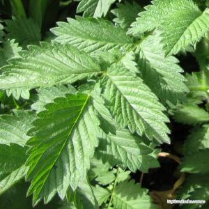Agrimony Tea (leaf only, no stem)
