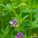Alfalfa (leaf) Tea