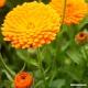 Calendula (flower) Tea