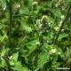 Catnip (leaf + flower) Tea