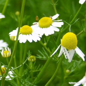 Chamomile (flower) Tea