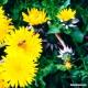 Dandelion (leaf + flower) Tea