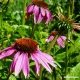 Echinacea Purpurea (aerial parts) Tea
