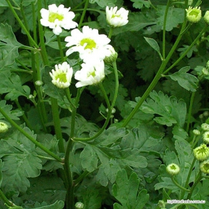 Feverfew (leaf + flower) Tea