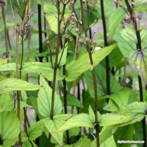 Figwort (aerial parts) Tea