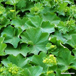 Ladies Mantle (leaf + flower) Tea