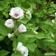 Marshmallow (leaf + flower) Tea
