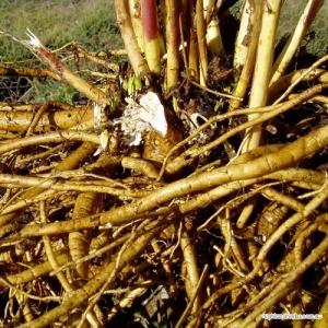 Marshmallow (root) Tea