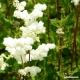 Meadowsweet (leaf + flower) Tea