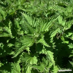 Nettle Tea (leaf only, no stem)