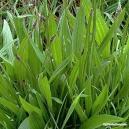 Plantain (leaf) Tea