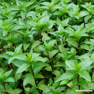 Peppermint Tea (leaf only, no stem)