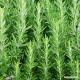 Rosemary (leaf) Tea