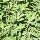Sage (leaf) Tea