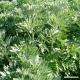 Wormwood (leaf) Tea