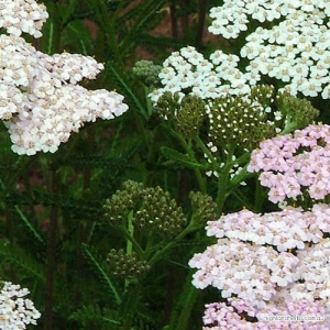 Yarrow Tea (leaf only, no stem)